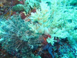 Tubbataha soft coral