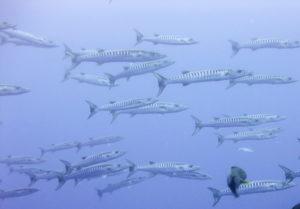 Tubbataha barracuda