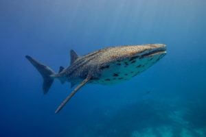 Tubbataha whaleshark in the blue