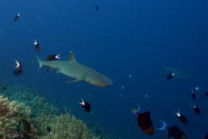 Tubbataha shark