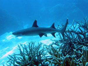 Tubbataha reef shark