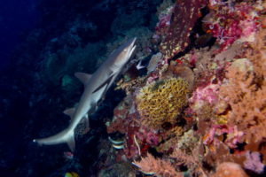 Tubbataha reef shark on coral