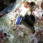 Tubbataha reef nudibranch on a rock