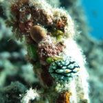 Tubbataha diving nudibranch
